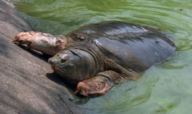 La tortue Cu Rùa n'est plus