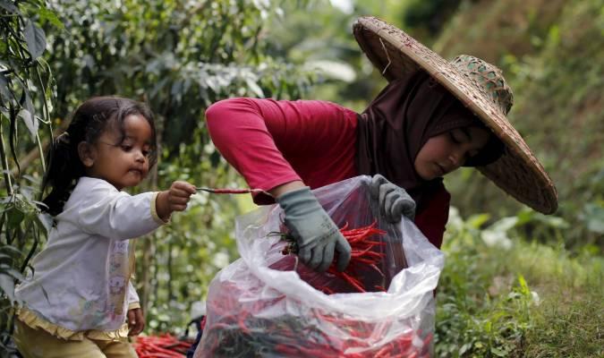 La cueillette des piments rouges en Indonésie