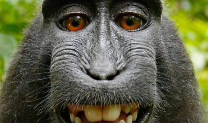 Le singe au selfie