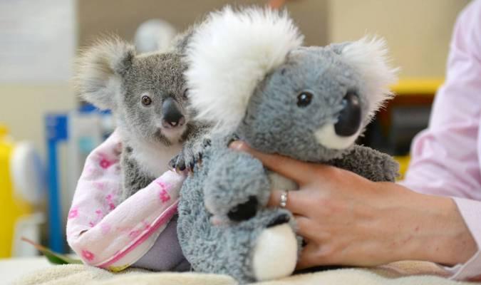 Maman peluche pour koala
